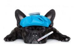 Como diagnosticar e prevenir a Gripe Canina?